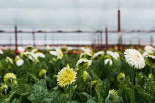 gerbera-flowers-inside-greenhouse-1jp