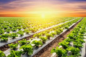 lettuce-plant-field-vegetable-agricultur