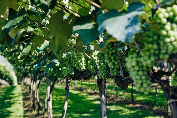 closeup-green-grapes-vineyard-sunlight-w