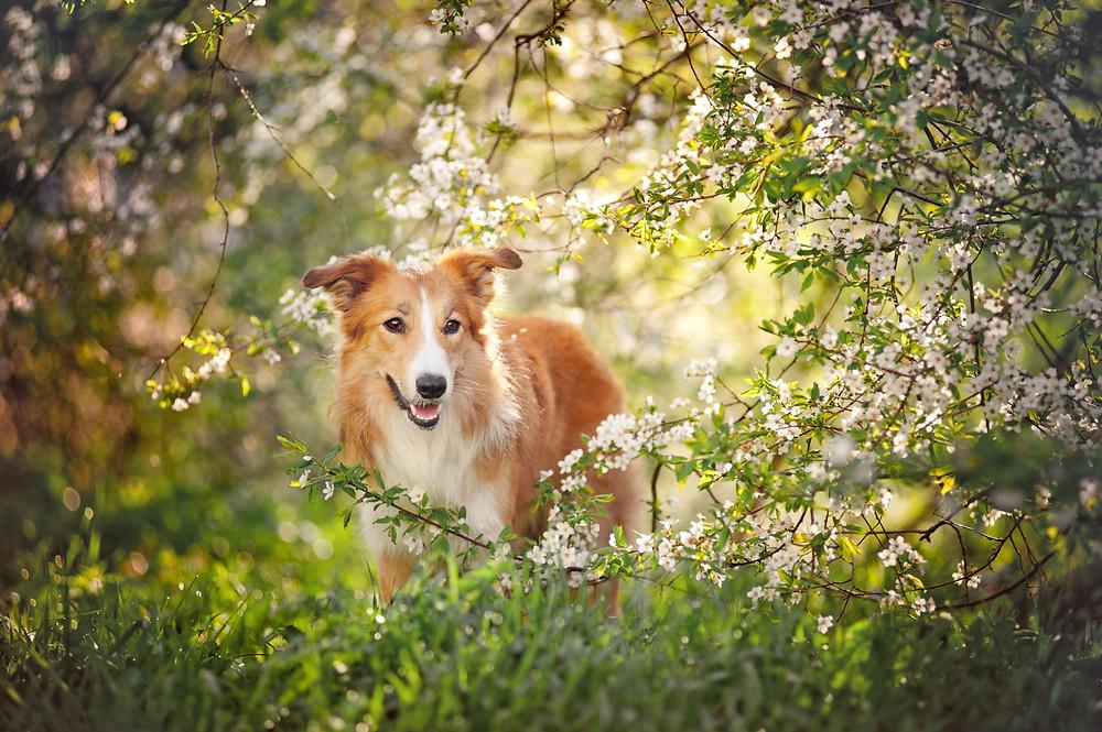 Chien de berger caramel et blanc posant au travers des branches d'un cerisier en fleur