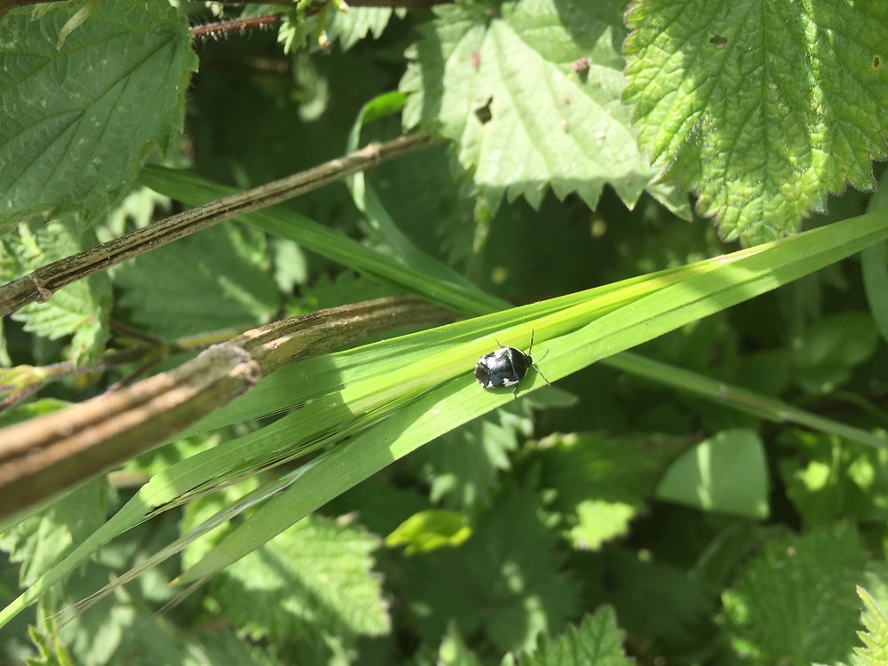 Rambur's Pied Sheildbug (Tritomegas sexmaculatus)