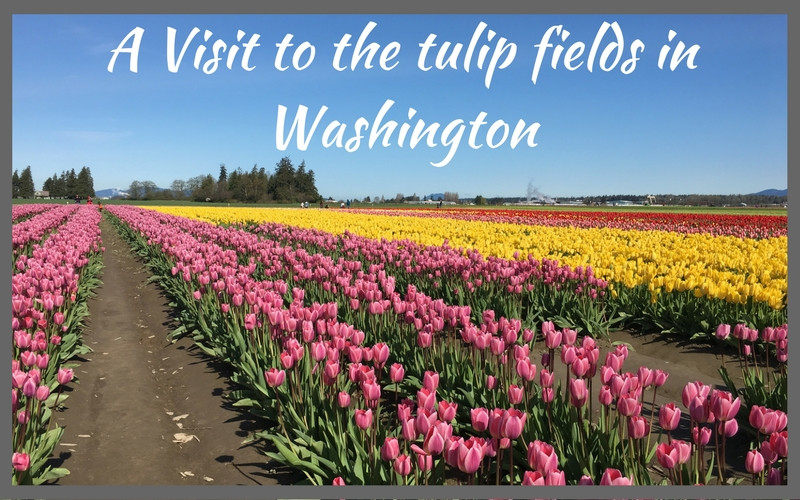 Spectacular Washington state tulip fields