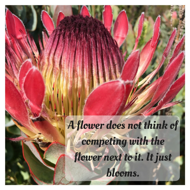 Inspirational flower quote protea