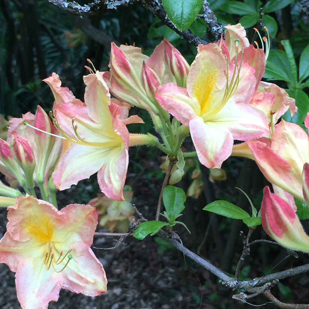 floral beauty rhododendron