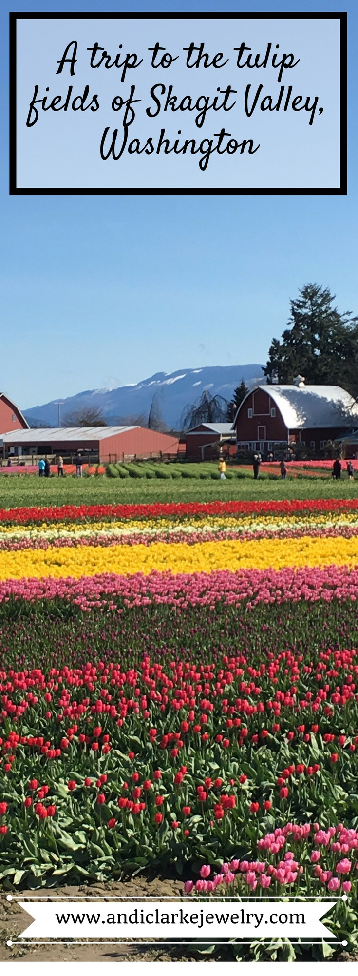 Tulip fields with barns in back ground.