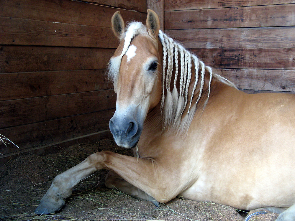Haflinger Pony with braided mane