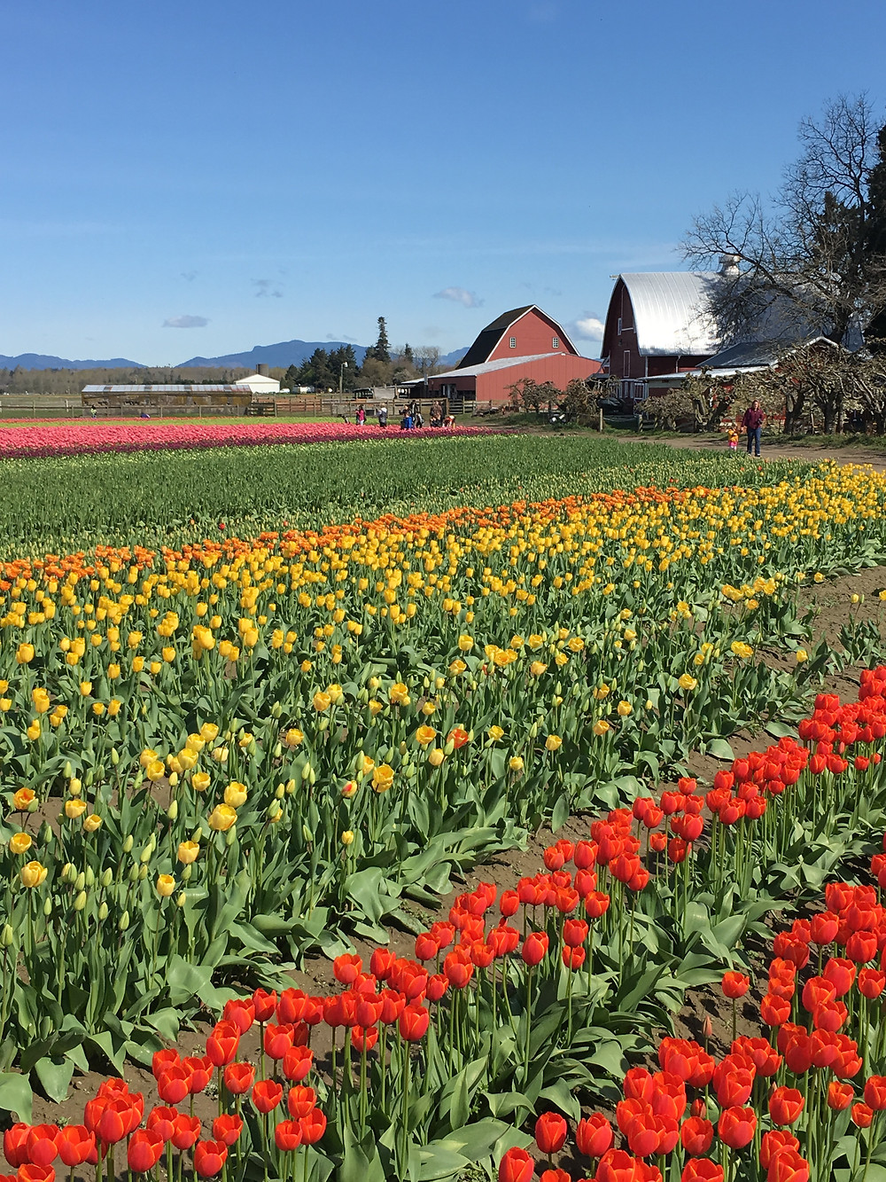 Skagit Valley Tulip Farm fields in bloom
