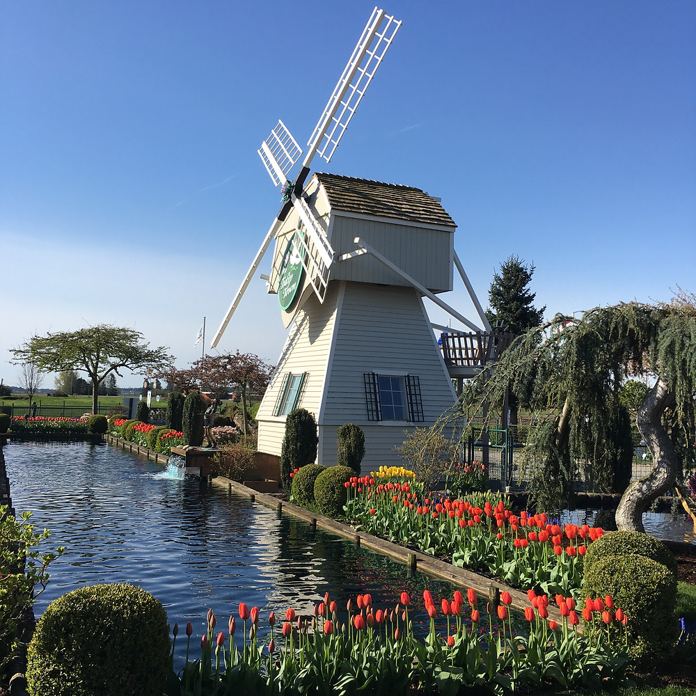 Windmill at Tulip Town, Skagit Valley, with beautiful tulip gardens