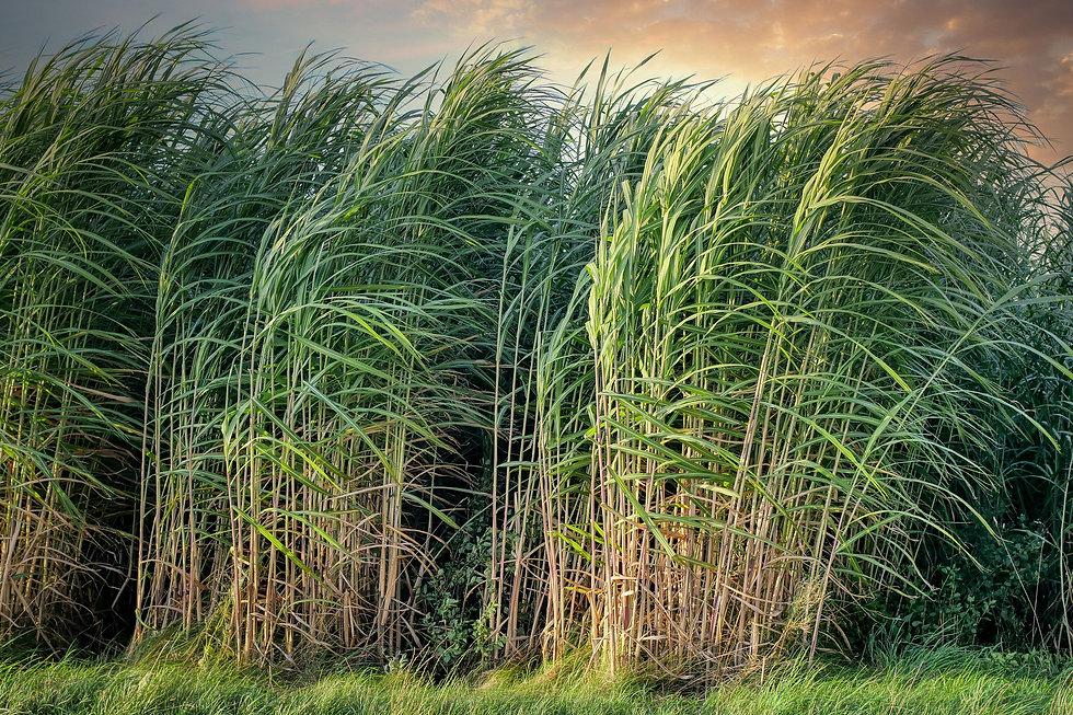 sugarcane-5525004_1920.jpg