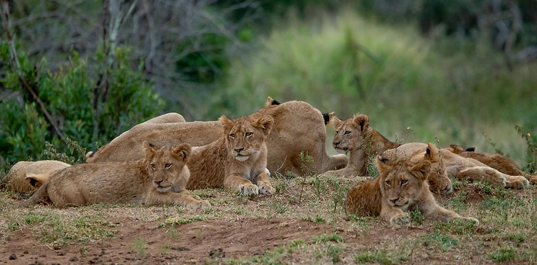 young lions neing curious.JPG