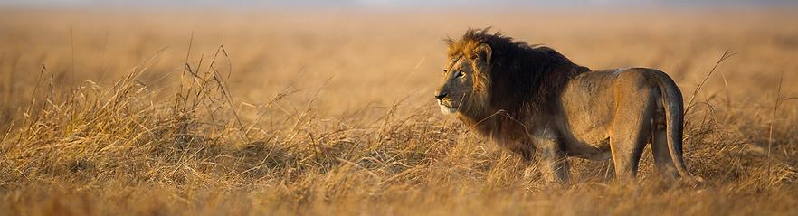 lion-in-savannah.jpg