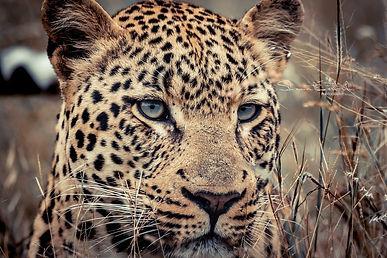 leopard-head.jpg