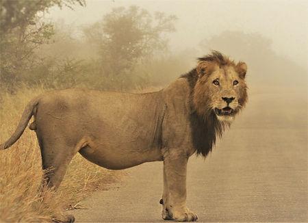 male-lion-in-mist.jpg