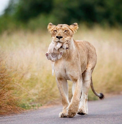 lioness-with-baby-cub.jpg