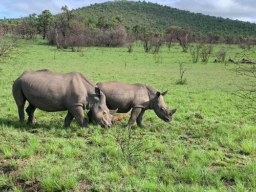 rhinos-grazing.jpg