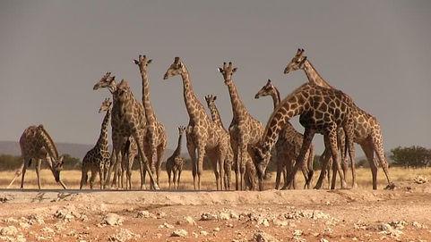herd-of-giraffes.jpg