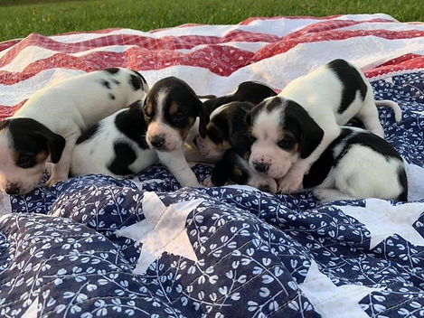 Glenmore puppies born 2019.jpg