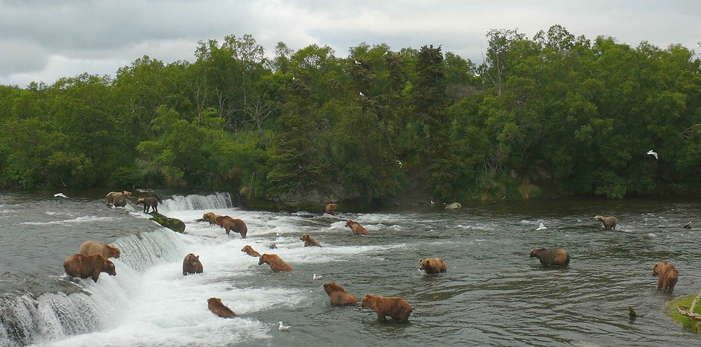 The world-famous falls of Brooks Camp in Katmai National Park and Preserve with plenty of Coastal Brown Bears