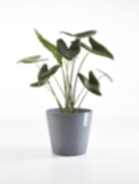 Ecopots Amsterdam Grey round flower pot with plant