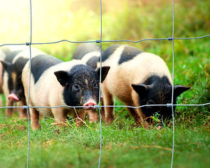 Ringlock fencing with pigs 2.jpg