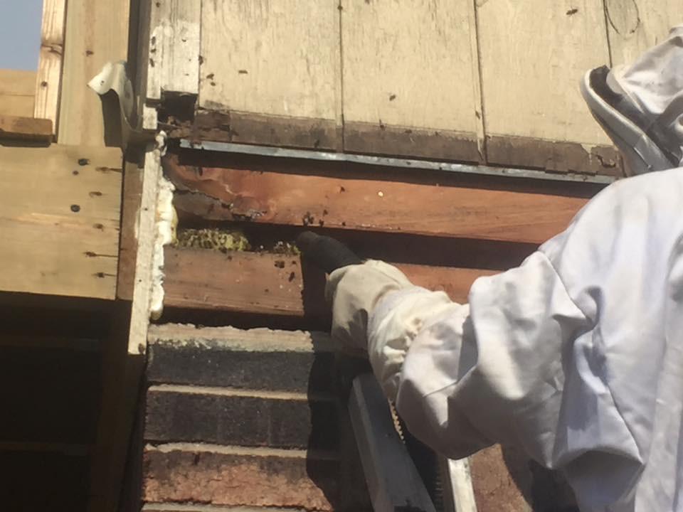 Honey Bees in Floor Ceiling Norman