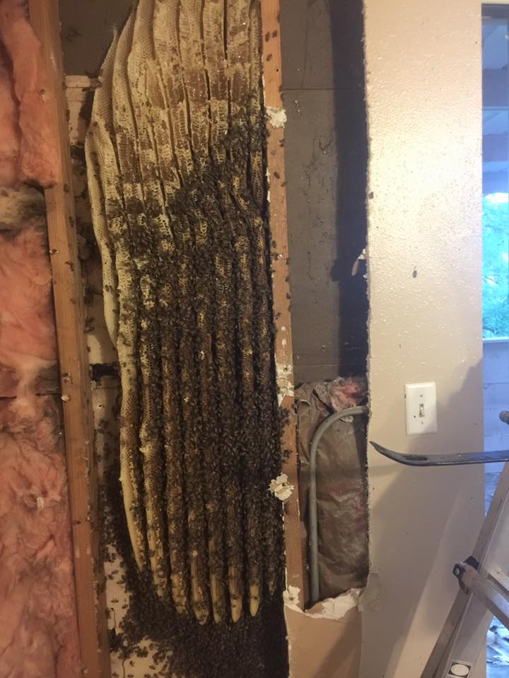 Honey Bees Removal Wall OKC Edmond