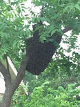 Honeybee swarm Edmond Oklahoma City OKC