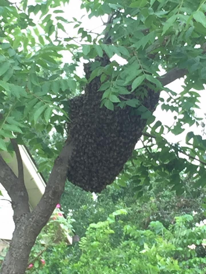 Honey Bee Swarm Edmond