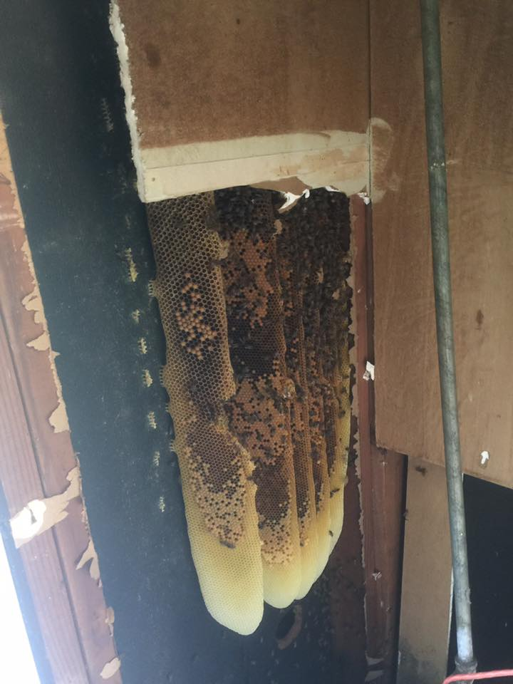 Honey Bees removal hive house wall