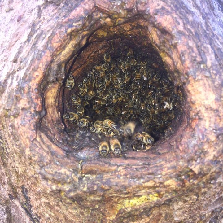 Honey Bee Tree Removal OKC Edmond