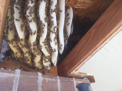 Honey Bee hive Removal soffit attic