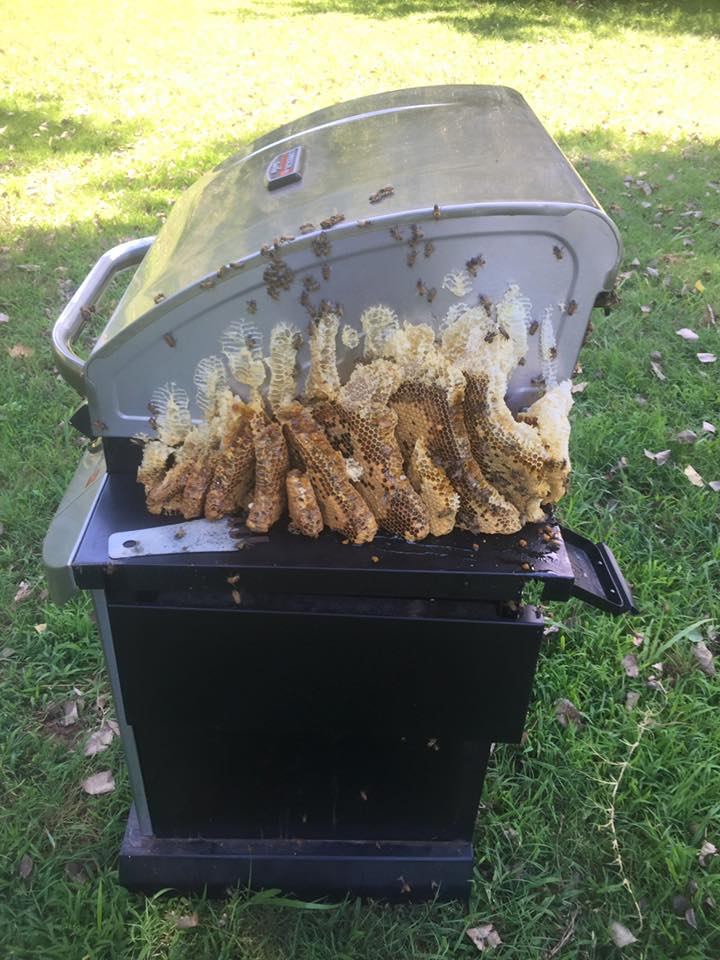 Cool Honey Bee Removal Edmond OKC