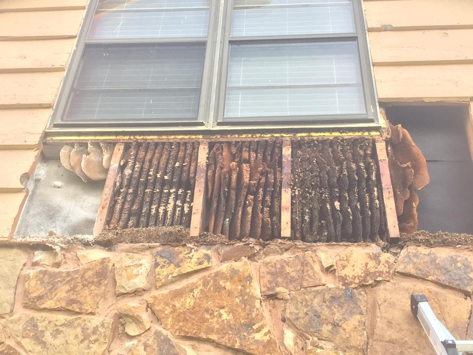 Honey Bee Wall Removal OKC Edmond