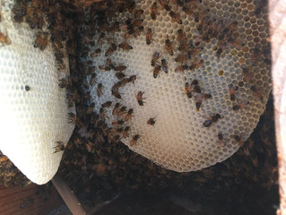 May 2017 Pictures of Honeybee removal jobs!