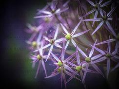 _DSC9672- PURPLE STARS