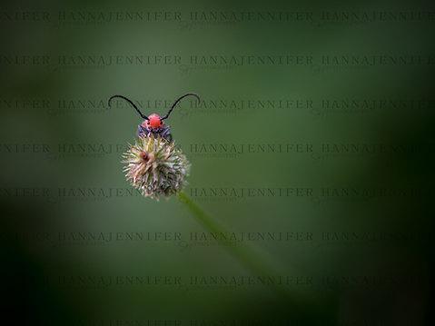"""Hello"" Red Milkweed Beetle.jpg"