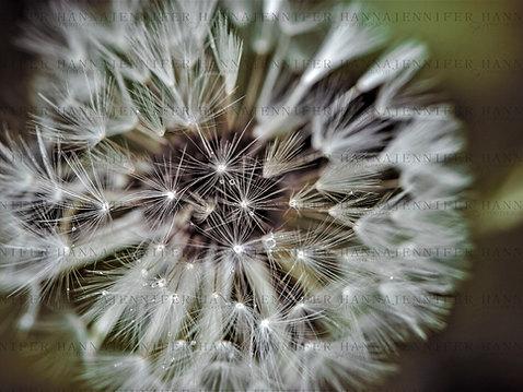 _DSC9044 Dandelion Rain