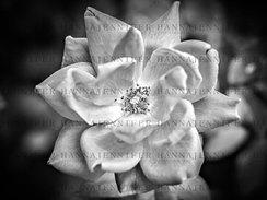 DSC_3810-3 Rose