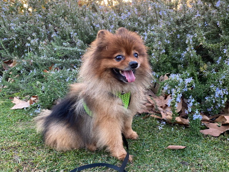 Is it Bad to Shave a Pomeranian?