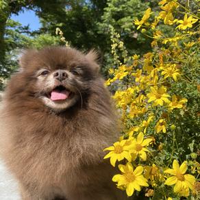 Pomeranian Characteristics