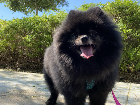 Top Health Issues in Pomeranians and How to Avoid Them