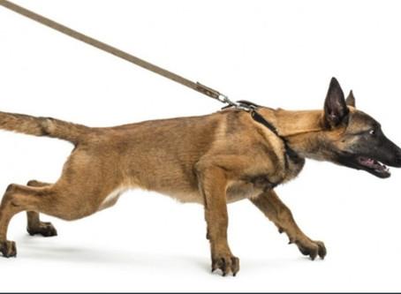 Não consegue caminhar com seu cão, porque ele fica só puxando na guia? Confira essas dicas!