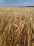 Synergy Barley.jpg
