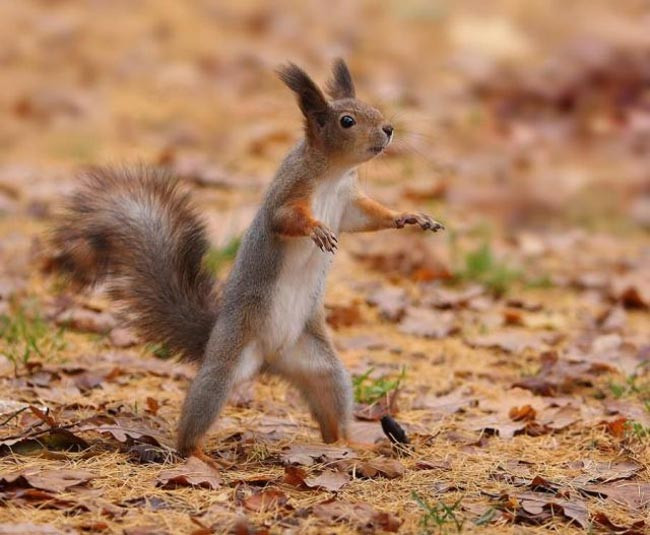 Squirrel standing on hind legs on high alert