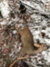 Erfolgreiche Jagt mit Dackel Dea.jpg