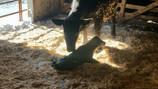 ROAR Sassy Lassy D01 calved