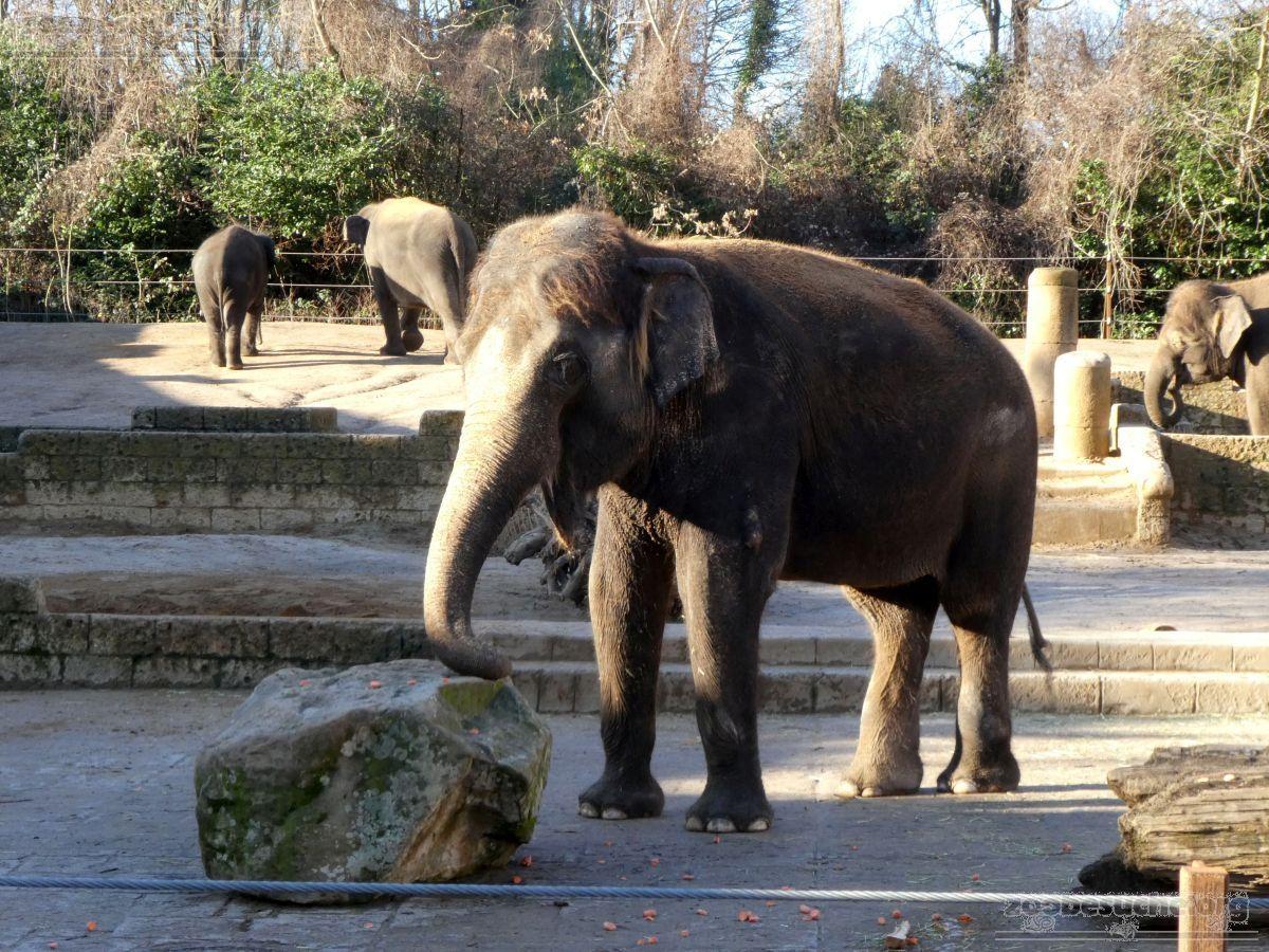 Elefantenkuh Indra