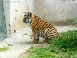 Tigerjungtiere  (6)