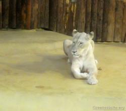 Weiße Löwin (5)
