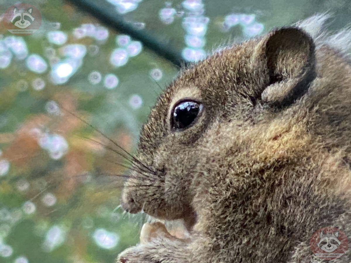 Baumstreifenhörnchen_(2)